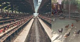 jaminan-pelaksanaan-distribusi-unggas-untuk-peternak