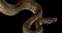 musim-hujan-musim-menetas-ular
