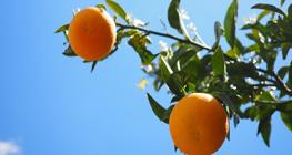 alasan-di-musim-pancaroba-wajib-banyak-makan-buah-jeruk-dan-buah-buahan-vitamin-c